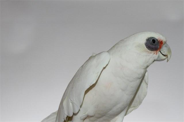 Venezuela, Bare Eyed Cockatoo