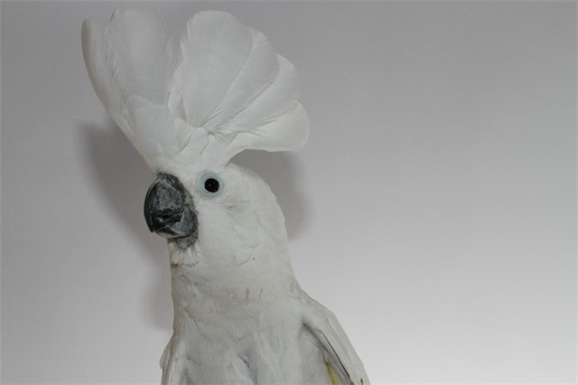 Crystal, Umbrella Cockatoo
