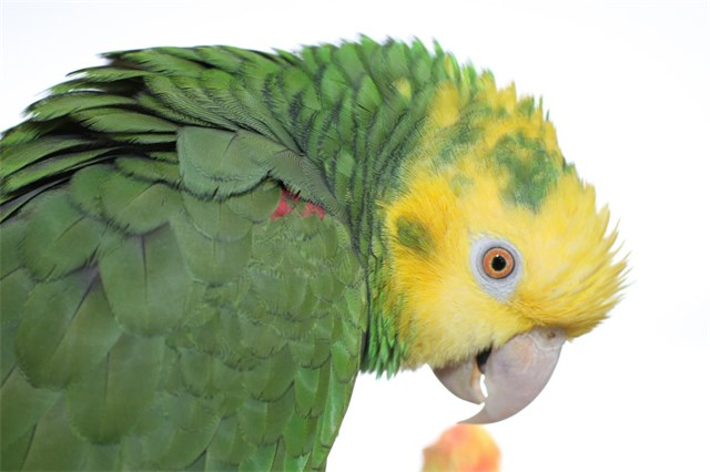 Maria, a Double Yellow Head Amazon