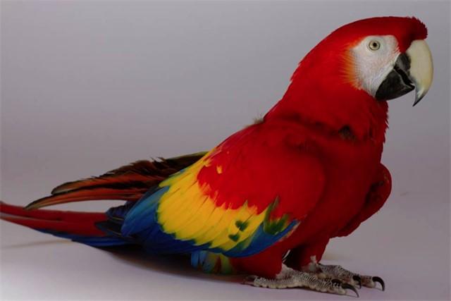 Scarlet, a scarlet macaw