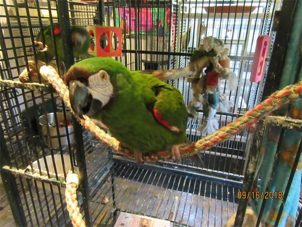 Gossip:  RiRi, a yellow-naped Amazon