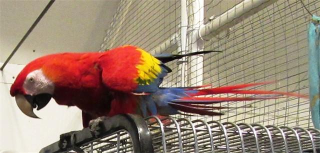 Holly, a scarlet macaw