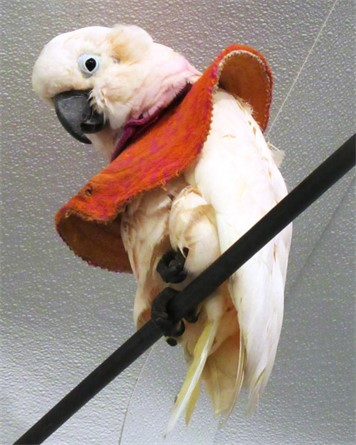 Koko, a 31-year-old Moluccan cockatoo