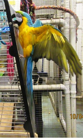 Rajah, a blue and gold macaw