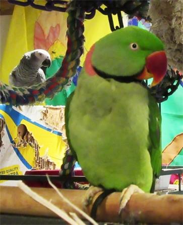 Rajah, Alexandrine Parakeet (parrot) with Daisy 2