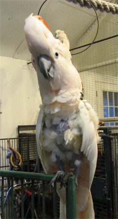 Corey, a 38-year-old Moluccan cockatoo
