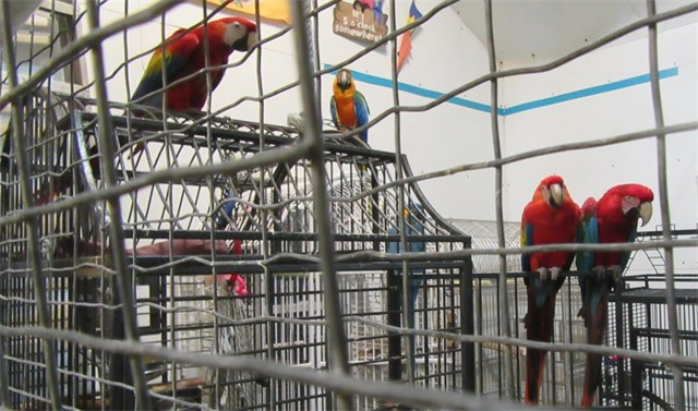 21 macaws were moved into their own area