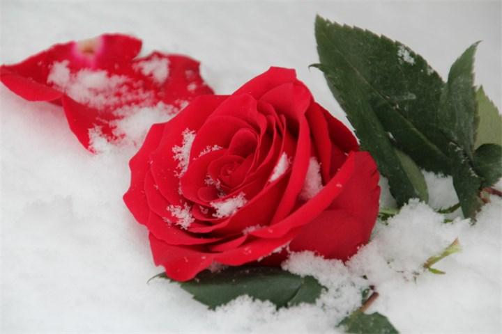 Red Winter Rose!